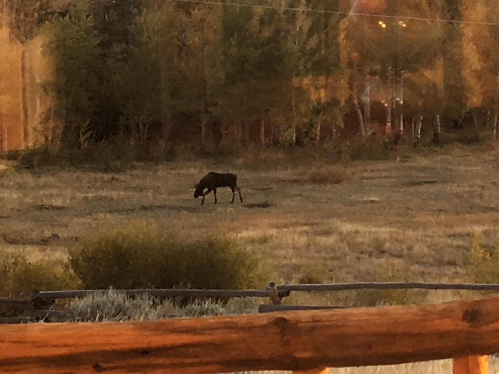 Moose near Dubois WY