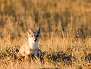 """Swift Fox Ecology, Distribution and Trends in Wyoming"" @ Dubois Museum"